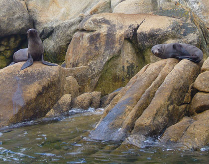 Seals on Tonga Island in the Abel Tasman National Park are so used to the visiting tourist speed boats they readily pose for photos........